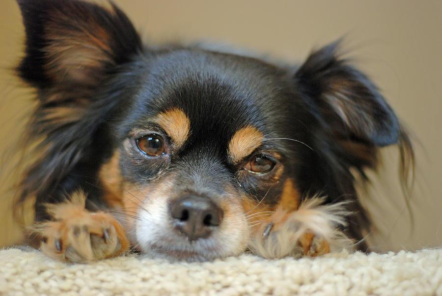 Dog Photograph - Chimi by Lisa Gabrius