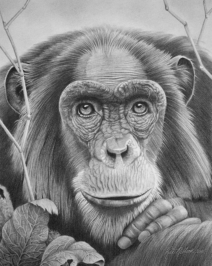 chimpanzee drawing by rita niblock