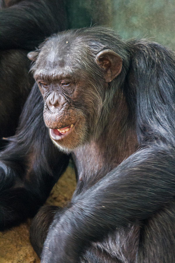 Chimpanzee Sitting In A Human Position Royalty Free Stock ...  |Chimp Sitting