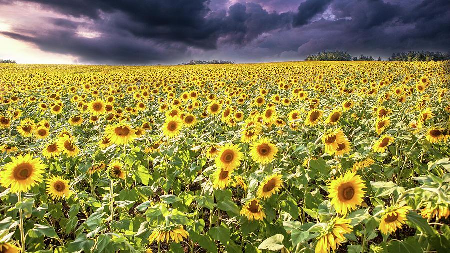 Sunflower Photograph - Sunflower Field by John Daly