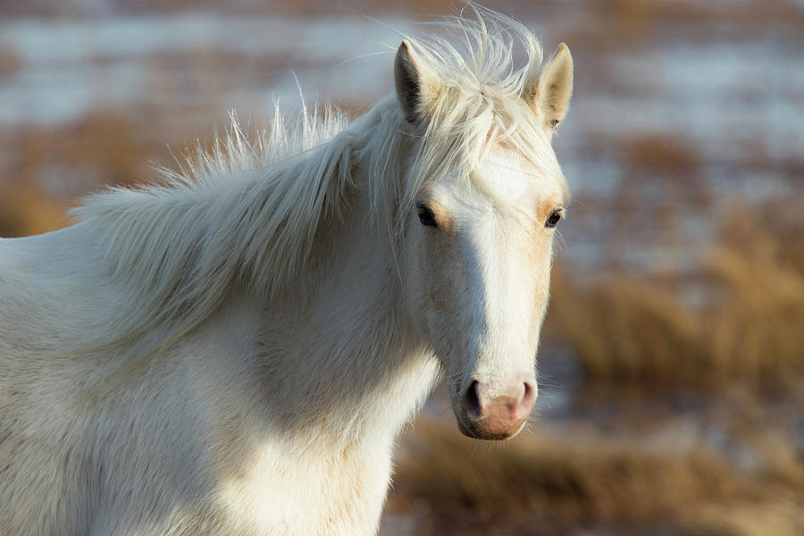 Wild Photograph - Chincoteague White Pony by Pete Federico