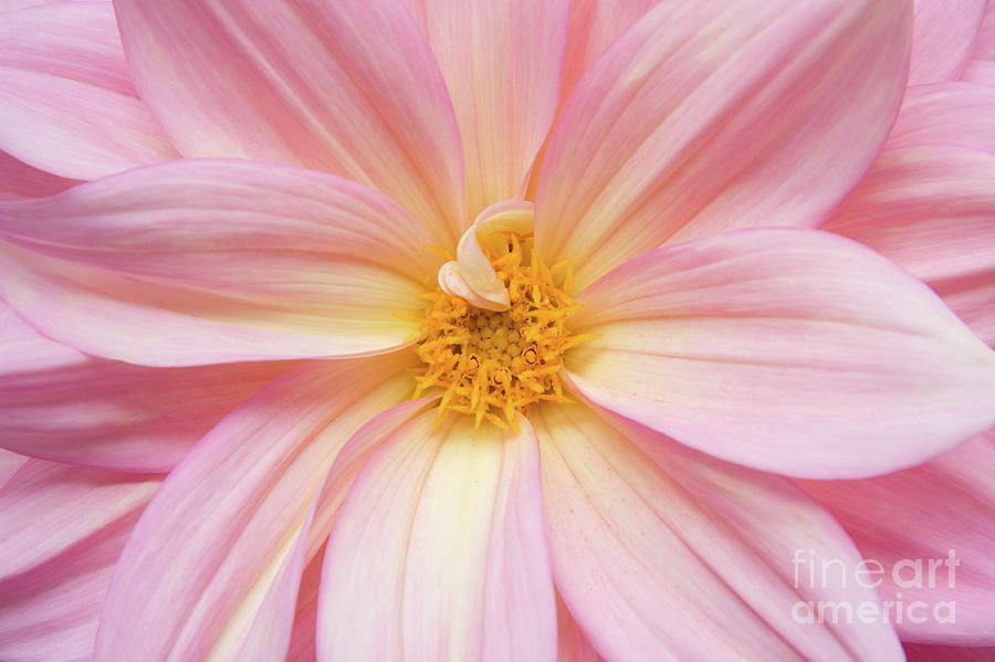 Nature Photograph - Chinese Chrysanthemum Flower by Julia Hiebaum