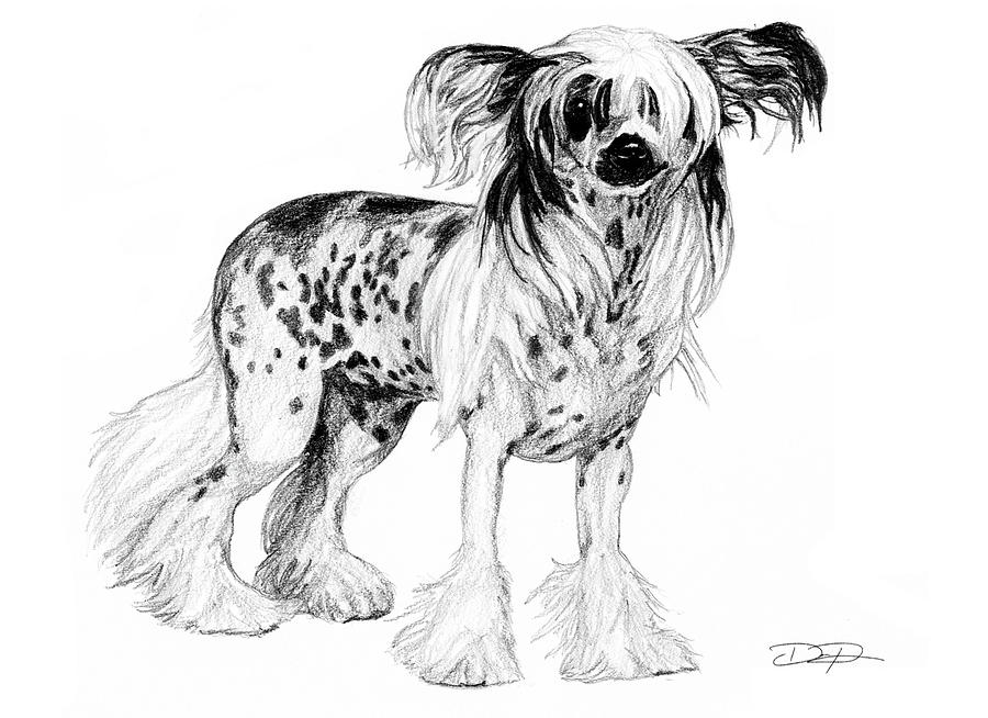 Chinese Crested Drawing - Chinese Crested Dog by Dan Pearce