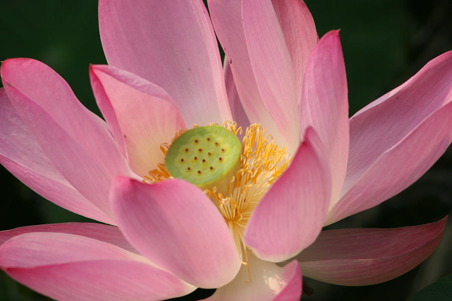 Lily Photograph - Chinese Lily by Linda Russell