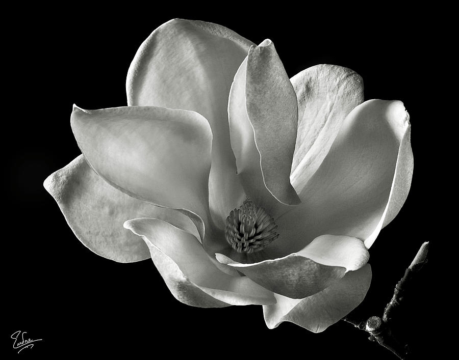 Flower Photograph - Chinese Magnolia by Endre Balogh