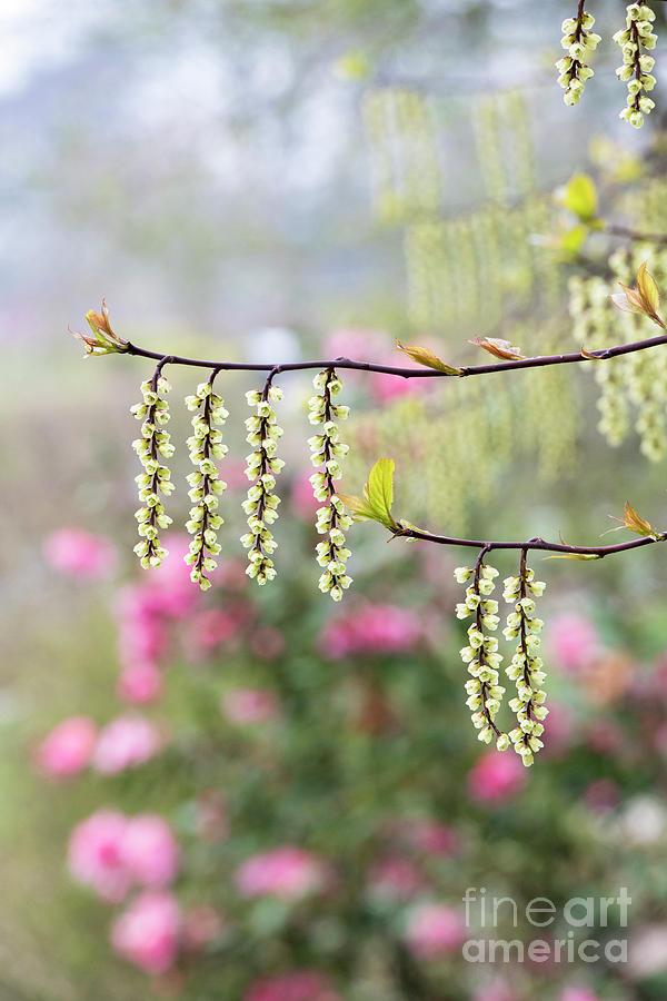 Semi Evergreen Photograph - Chinese Stachyurus Celina by Tim Gainey