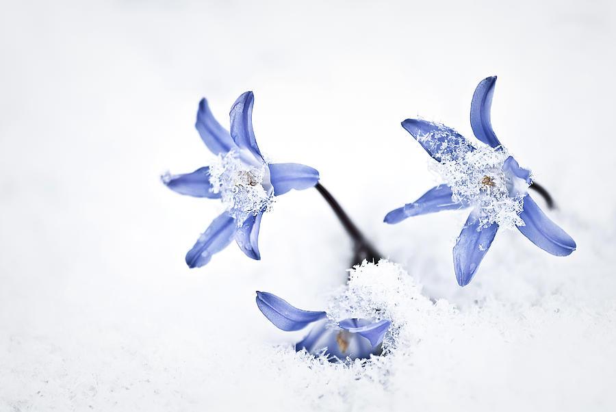 Chionodoxa Photograph - Chionodoxa - Glory Of The Snow by  Onyonet  Photo Studios