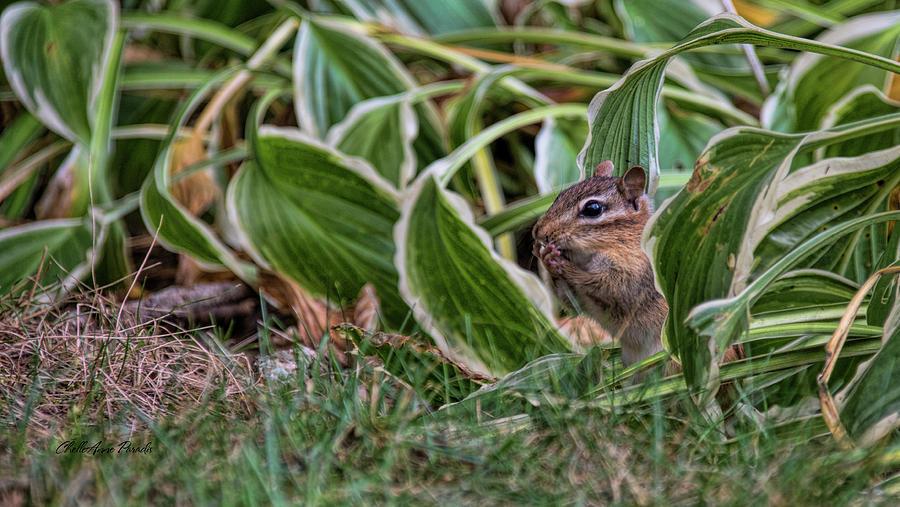 Chipmunk Photograph - Chipmunk  by ChelleAnne Paradis
