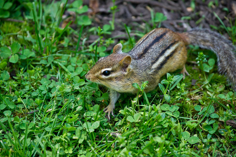 Chipmunk Photograph - Chipmunk by Edward Myers