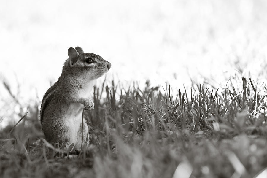 Chipmunk Photograph - Chipmunk In Black And White by Edward Myers