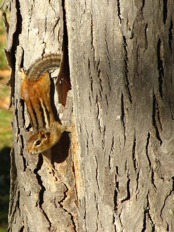 Chipmunk Photograph - Chipmunk In Fall by Rick Morgan