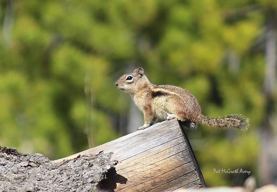 Chipmunk Photograph - Chipmunk Sunning by Pat McGrath Avery