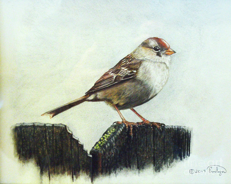 Chipping Sparrow Drawing by Evelyn Sanders