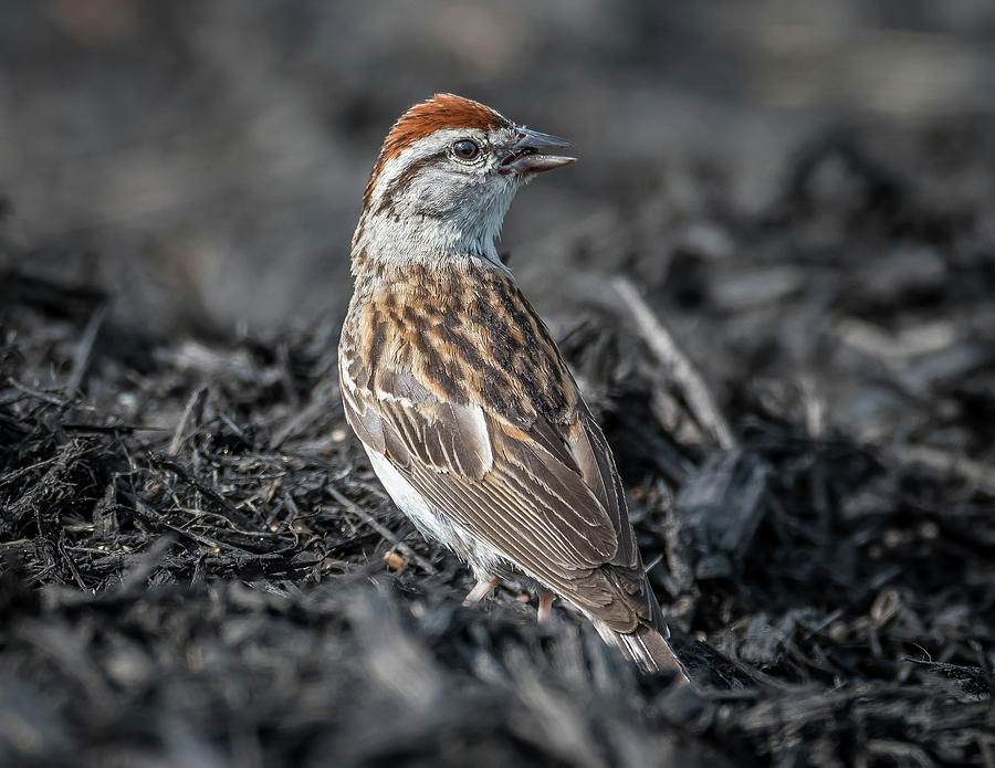 Nature Photograph - Chipping Sparrow by Michael Cunningham