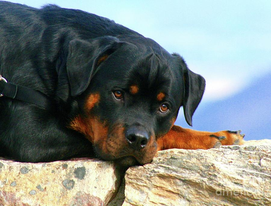 Chiron The Rottweiler  Photograph by Gregory E Dean