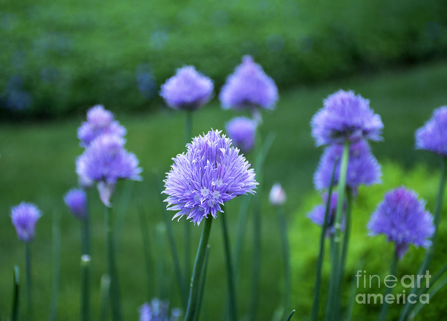 Chive Mixed Media - Chive Among Friends by Robin Gayl