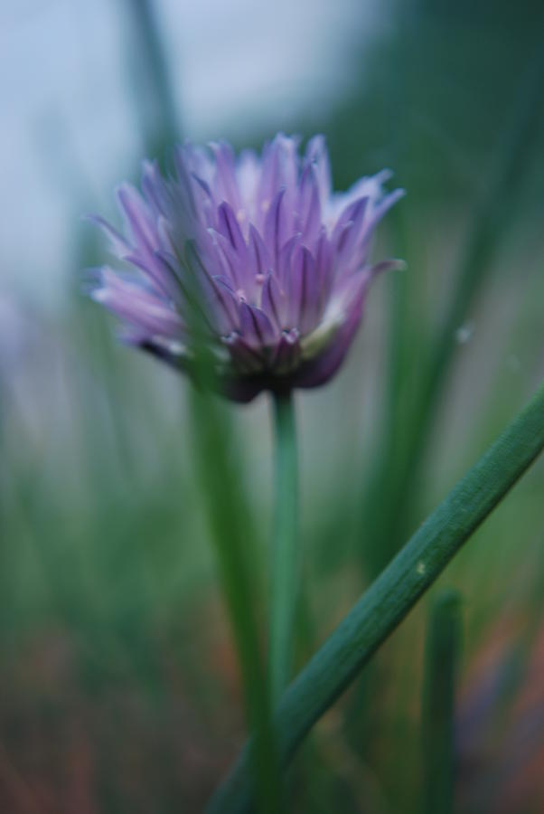Nature Photograph - Chive Flower 2 by Lisa Gabrius