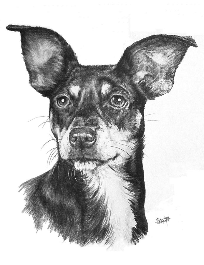 Mixed Breed Drawing - Chiweenie by Barbara Keith