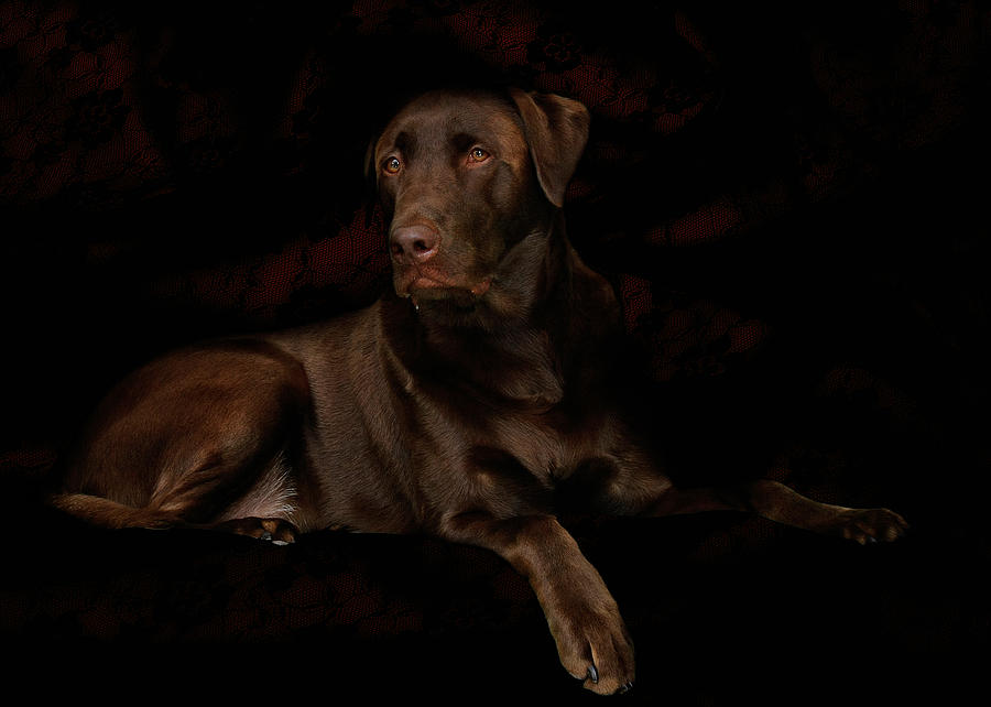 Labrador Dog Photograph - Chocolate Lab Dog by Christine Till