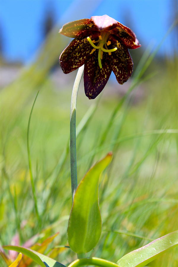 Travel Photograph - Chocolate Lily Two by Nicholas Miller