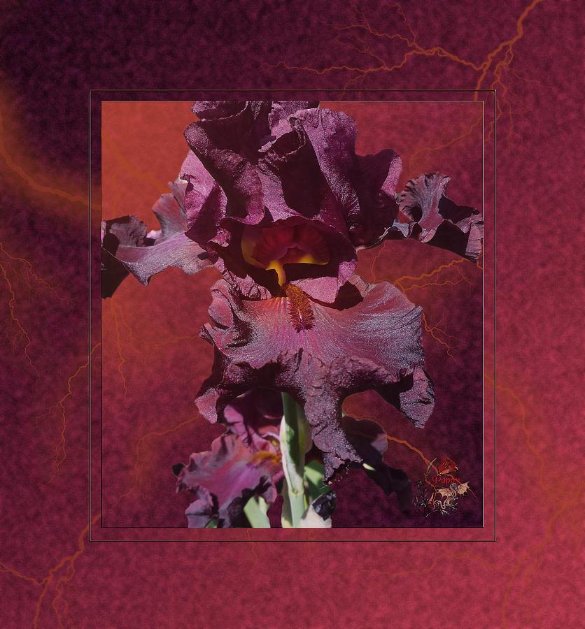 Iris Photograph - Chocolate Thunder - Iris by Patricia Whitaker