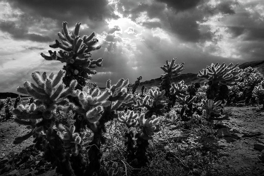Landscape Photograph - Cholla Cactus Garden Bathed In Sunlight In Black And White by Randall Nyhof