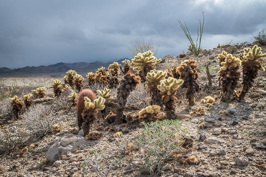 Cholla Family With Guests Photograph