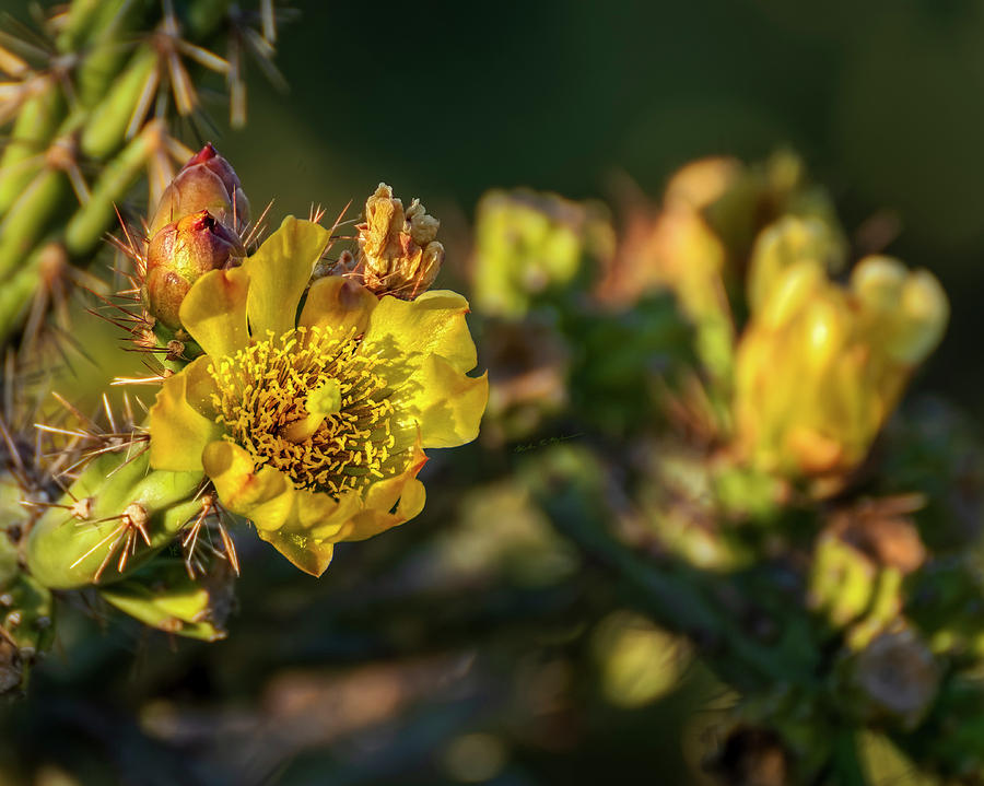 Cholla Flower H1811 Photograph