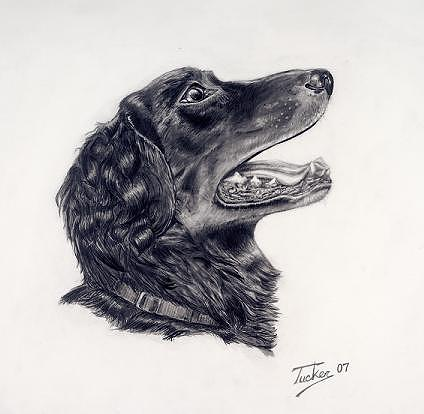 Dog Drawing - Chopper by Andrew Tucker