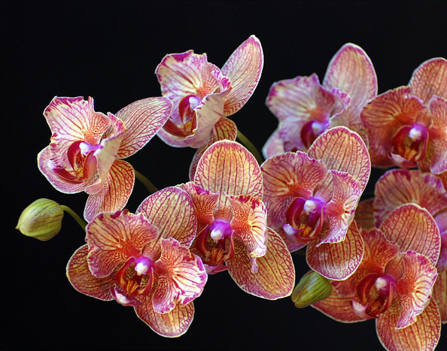 Orchid Photograph - Chrissys Orchid by Mark Wiley