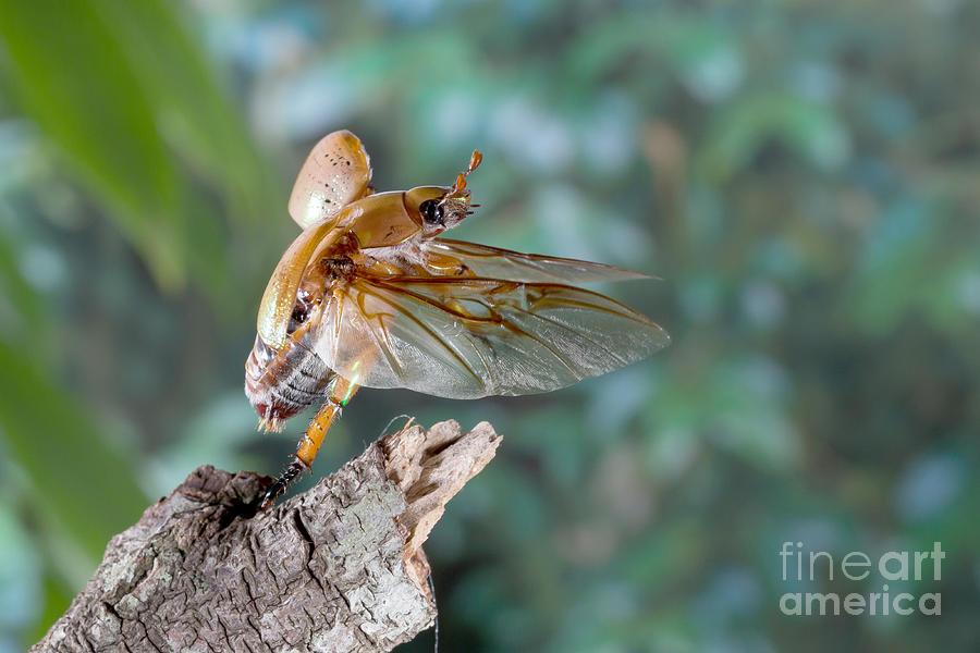 Christmas Beetle.Christmas Beetle By B G Thomson