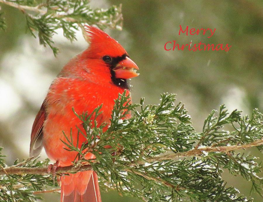 Cardinal Photograph - Christmas Cardinal  by Lori Frisch