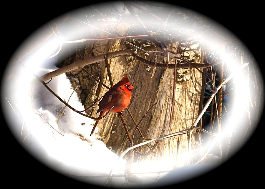 Greeting Card Photograph - Christmas Cardinal by Peter Gray