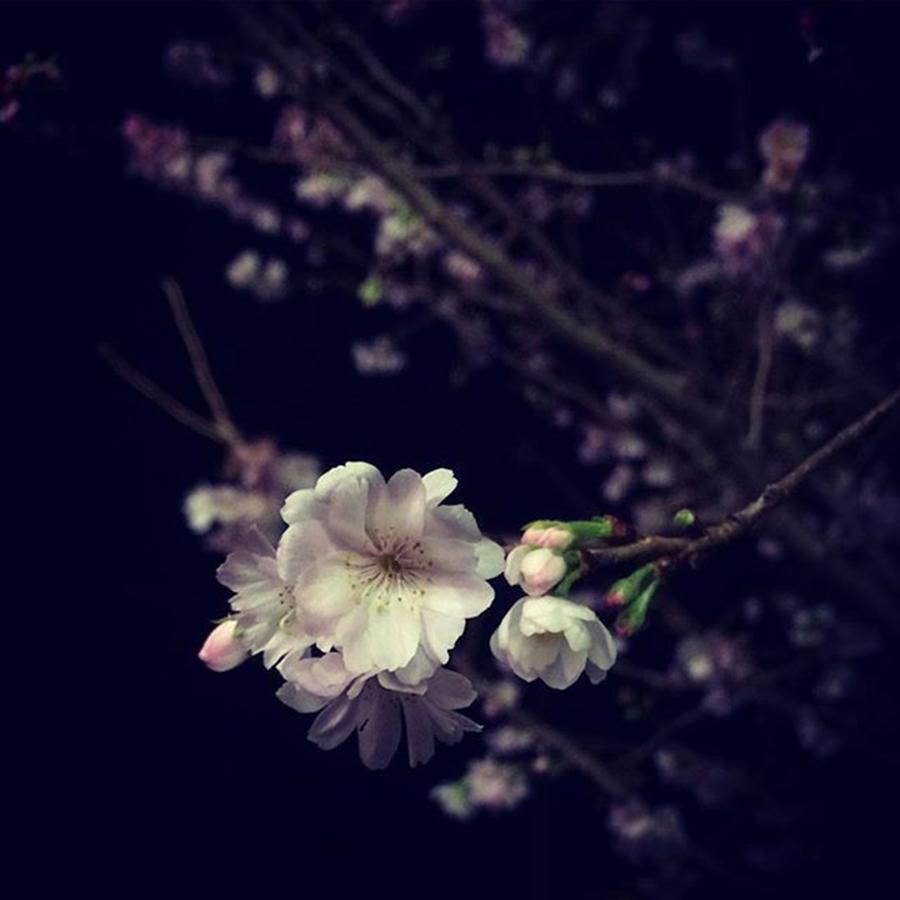 December Photograph - Christmas Cherry Bloom. 🎄🍒🌸 by Katie Cupcakes