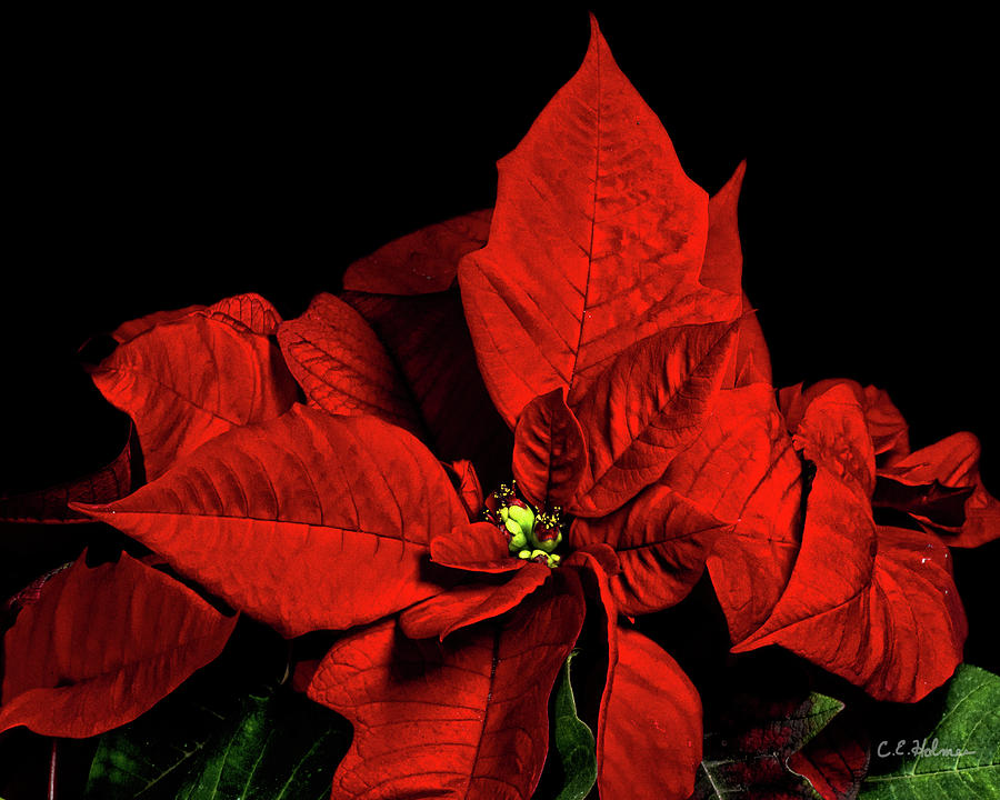 Pointsettia Photograph - Christmas Fire by Christopher Holmes