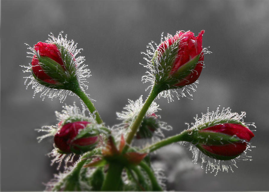 Geranium Photograph - Christmas In May by Lori Deiter