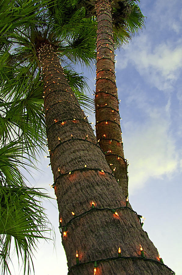 Christmas Lights In Palm Trees.Christmas Lights On Palm Trees