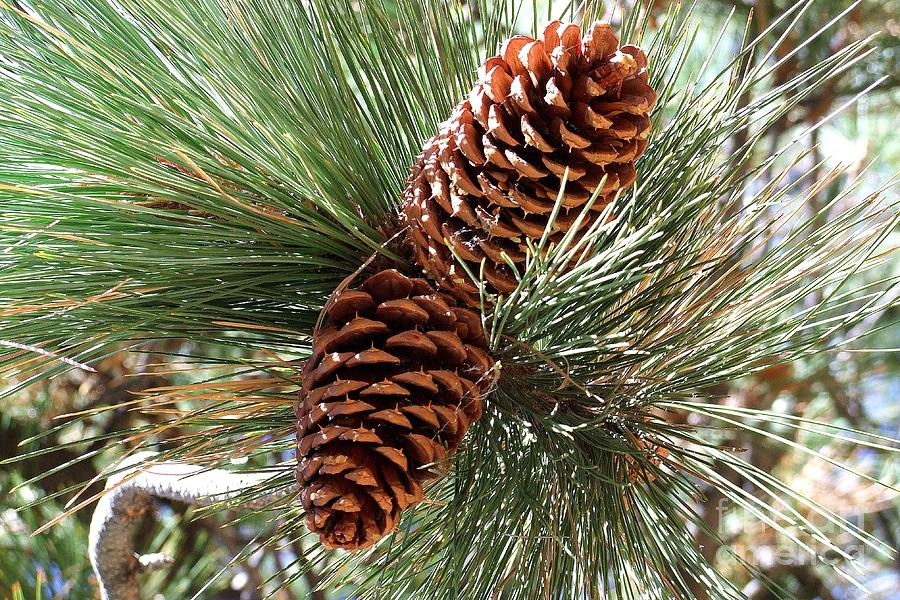 Mary Deal Photograph - Christmas Pine Cones by Mary Deal