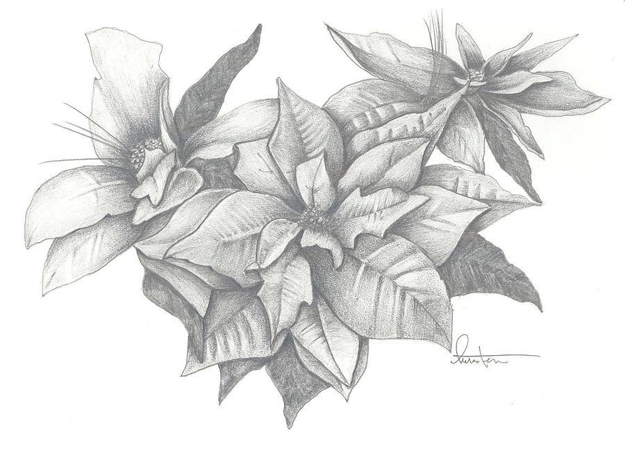 Christmas Flower Line Drawing : Christmas poinsettia drawing by kristen stevenson