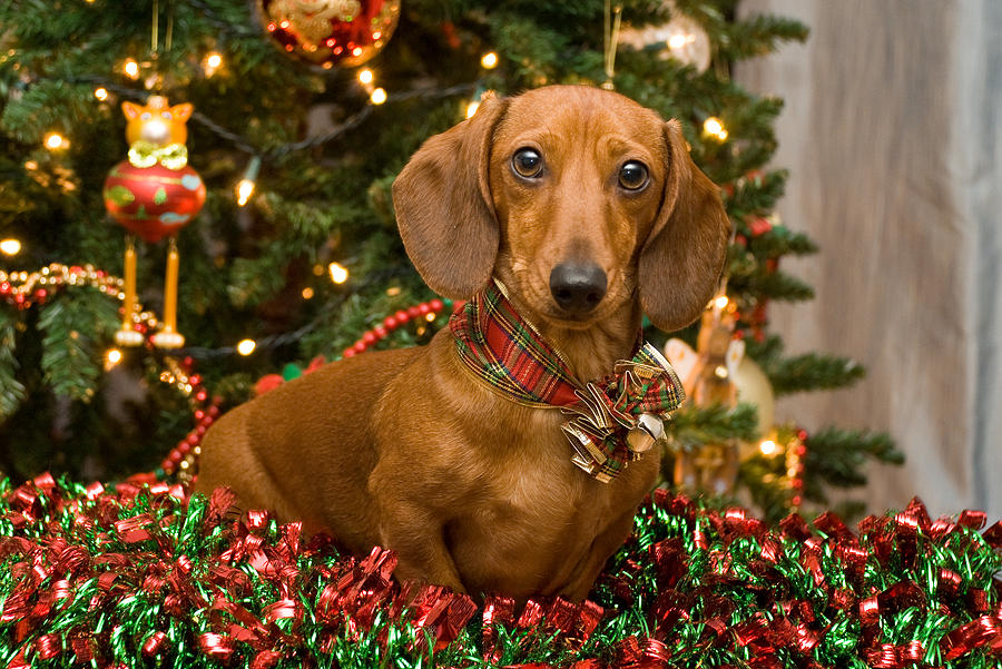 red photograph christmas red dachshund by mary griffin - Christmas Dachshund