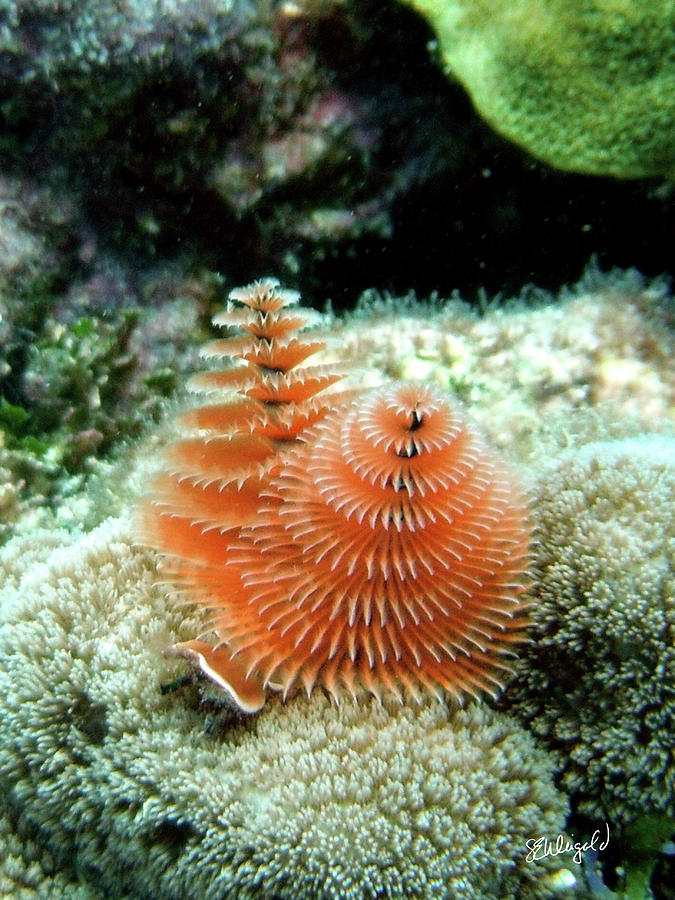 Scuba Photograph - Christmas Tree Worm by Steve Weigold