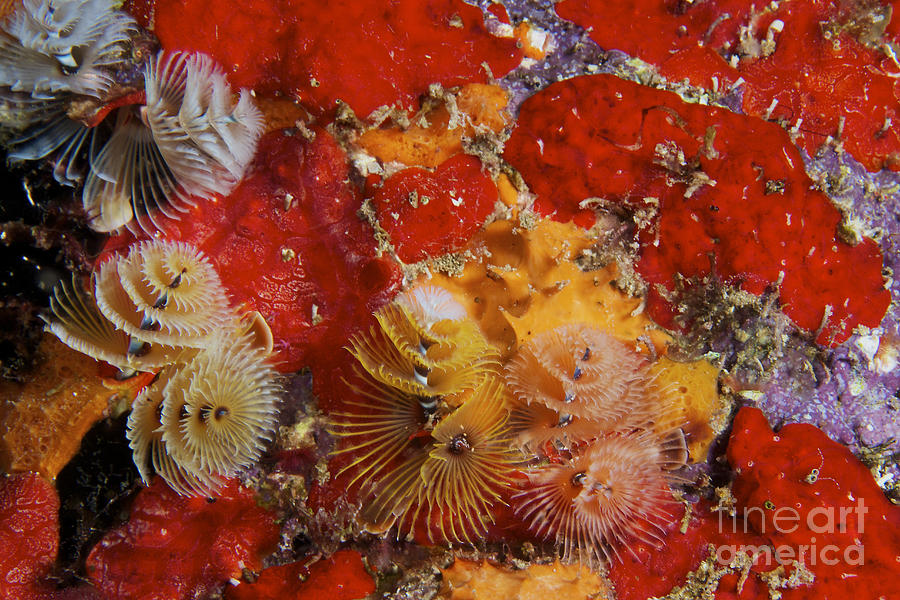 Bonaire Photograph - Christmas Tree Worms, Bonaire by Terry Moore