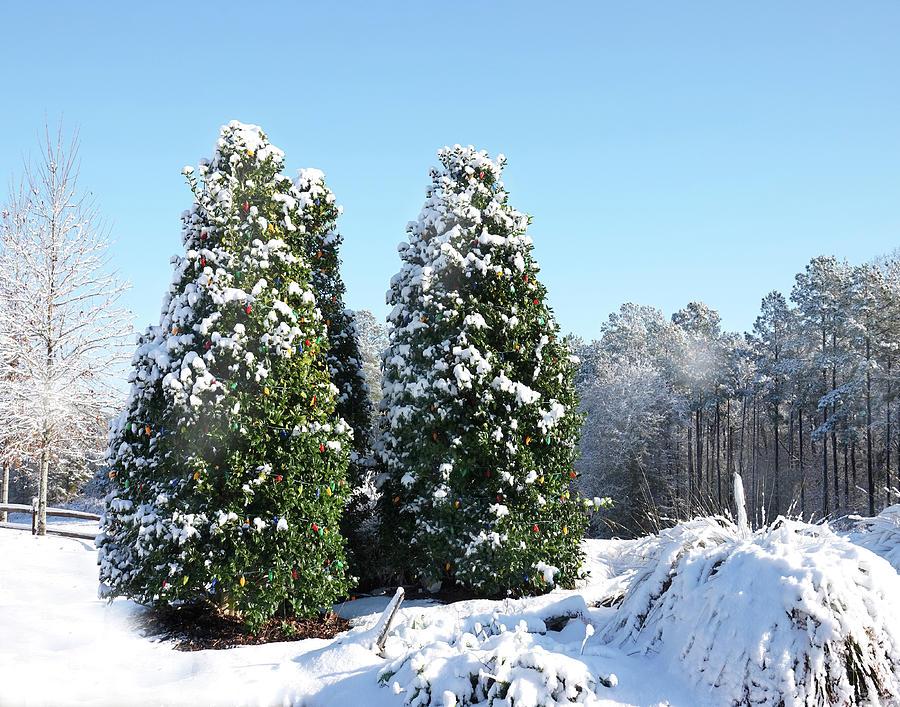 Christmas Trees Photograph