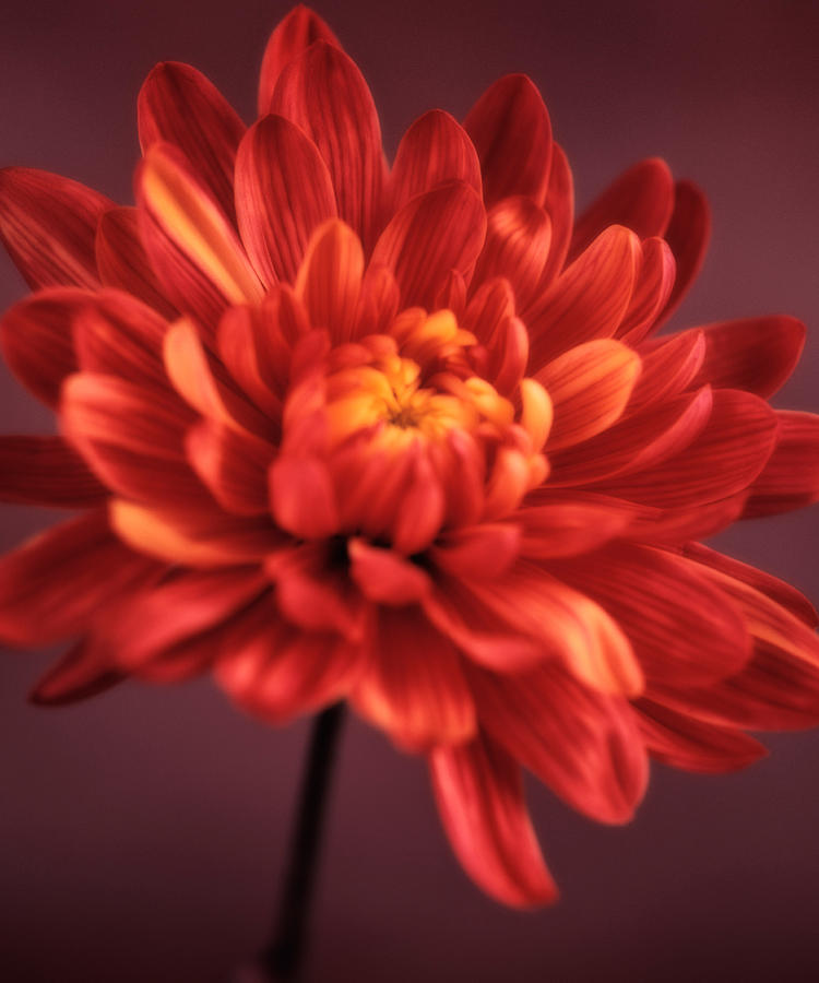 Chrysanthemum Photograph - Chrysanthemum 7 by Joseph Gerges