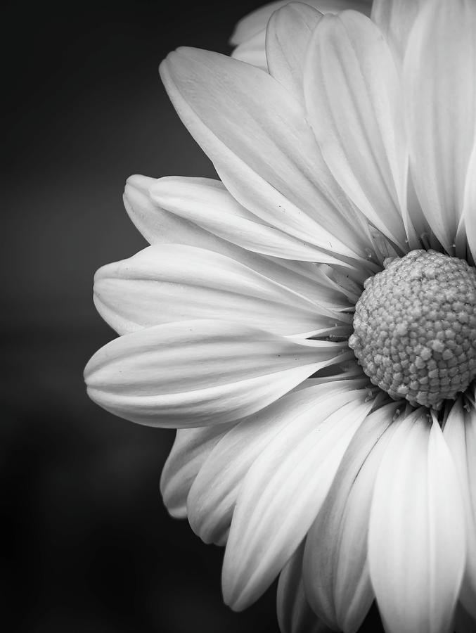 Chrysanthemum by GK Hebert Photography