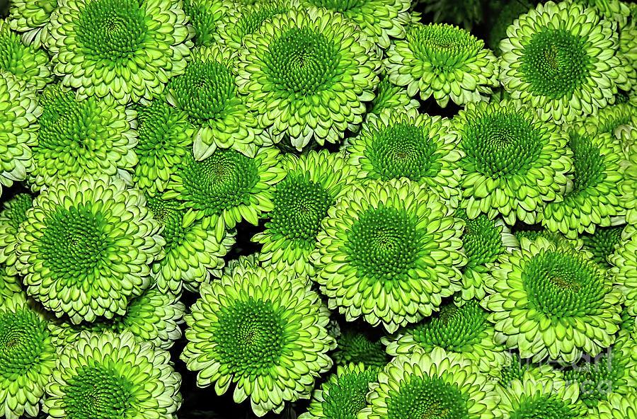 Chrysanthemum Photograph - Chrysanthemum Green Button Pompon Kermit by Kaye Menner