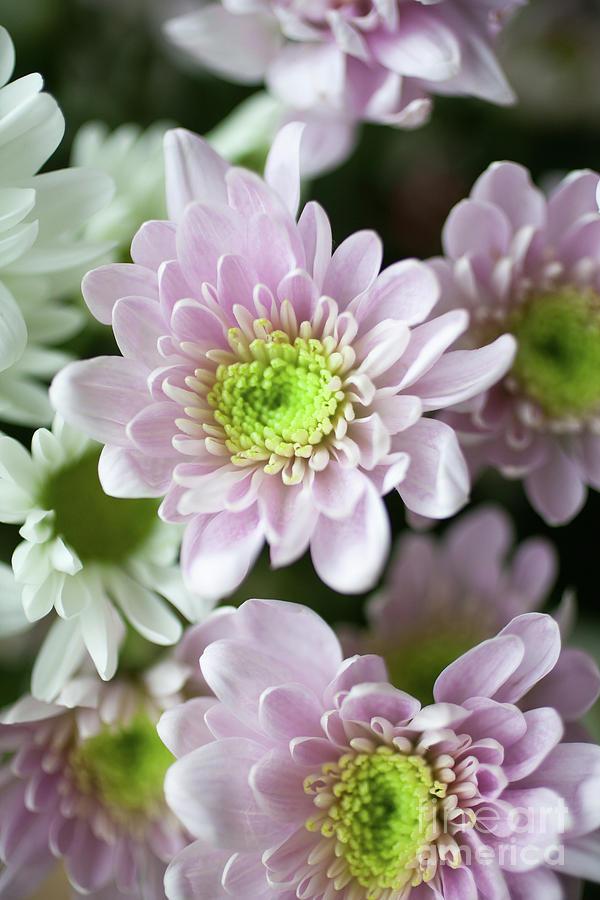 Chrysanthemum Photograph - Chrysanthemum by Kati Finell