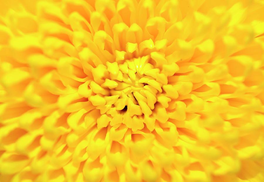 Chrysanthemum Photograph - Chrysanthemum by Konstantin Bibikov