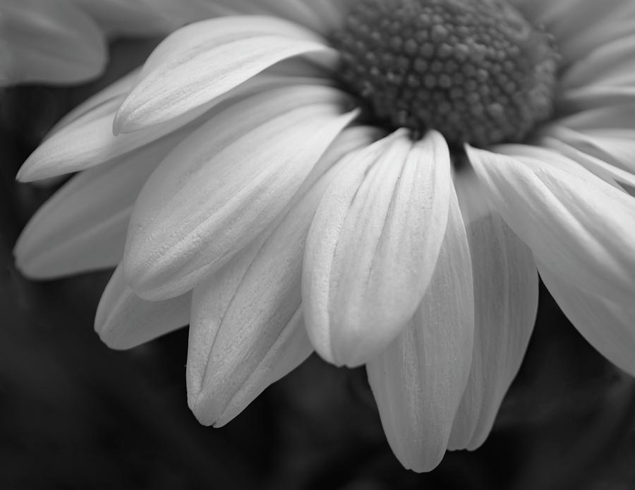 Chrysanthemum Too by GK Hebert Photography