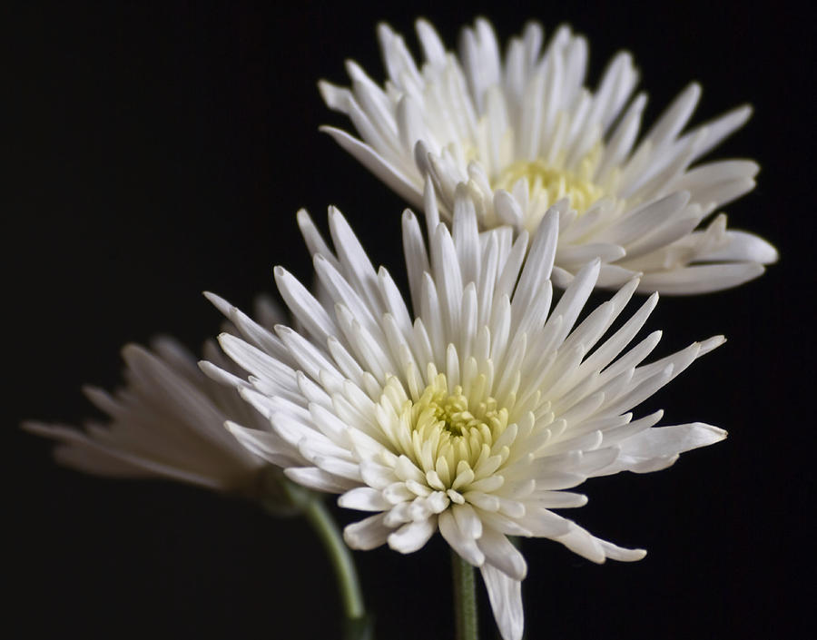 Flowers Photograph - Chrysanthemums by Svetlana Sewell